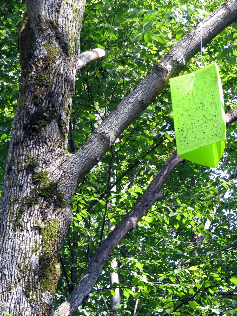 L agrile du fr ne et le transport du bois de chauffage par la client le blogue de conservation - Bois de chauffage frene ...